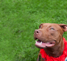 A pitbull who has a much better chance of beign adopted because of a nice, clean background.