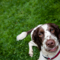 Springer spaniel with a weird smile