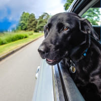 Black lab in car