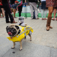 Pug wearing a taxi costume