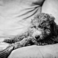 Goldendoodle puppy laying on a couch