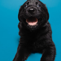 Black puppy on a blue background