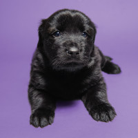 Black dog on purple background