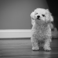 Bichon on wood floor