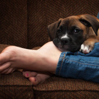 Boxer Puppy snuggling