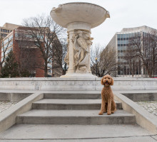 Poodle in Dupont Circle