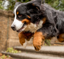 bernese mountain dog in washington dc