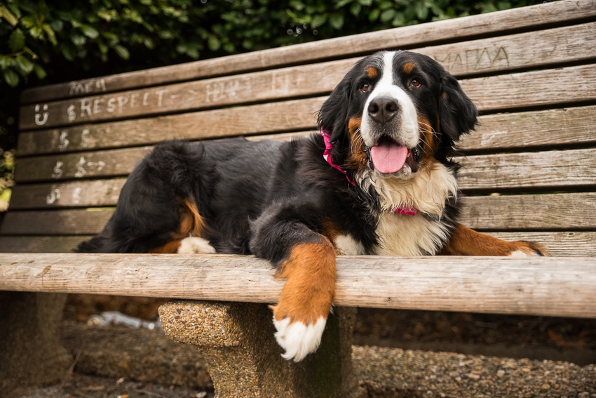 bernese mountain dog on a bench