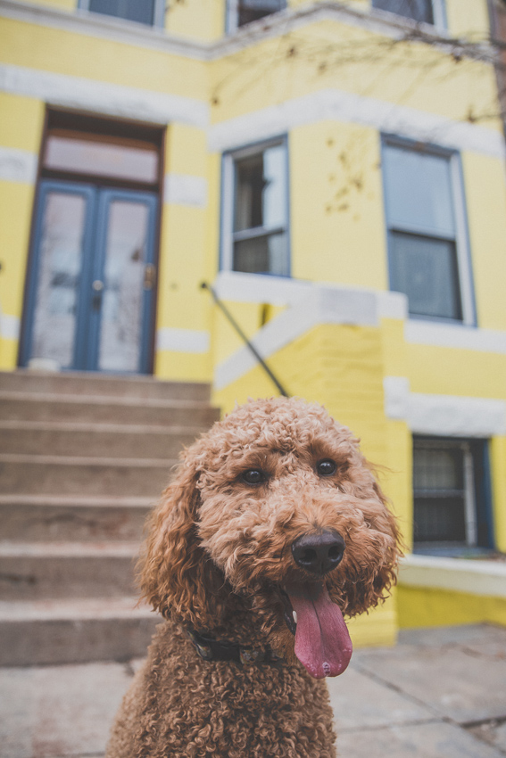 poodle by a yellow house
