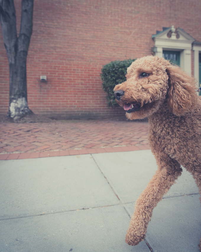 poodle walking on the street