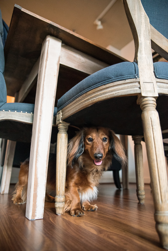 dachshund hiding under chair