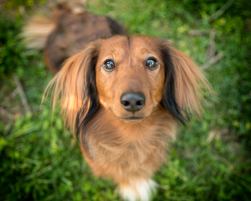 Dachshund looking up portrait