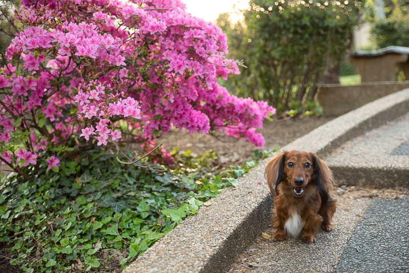 dachshund next to flowers