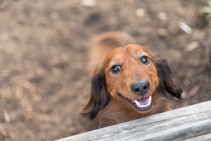 happy dachshund